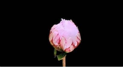 Pink Rose Roses Flower Flowers Animated Gifs