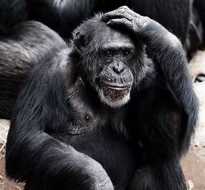 Old Chimpanzee Free Stock Photo - Public Domain Pictures