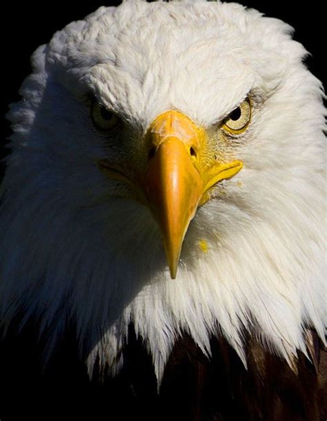 Animal Wallpaper For Pc - american eagle animals desktop wallpapers
