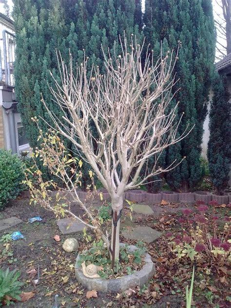 hibiskus im winter was mach ich mit dem hibiskus mein sch 246 ner garten forum