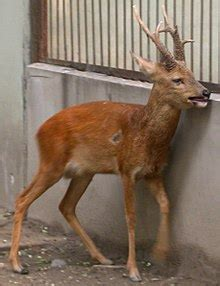 Siberian roe deer - Wikipedia