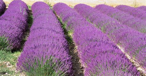 lavender plants in florida lavender plants for part shade ehow uk