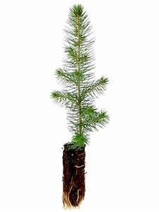Colorado Spruce & Blue Spruce Tree Seedlings for Sale ...