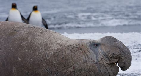 elephant seal wallpapers backgrounds