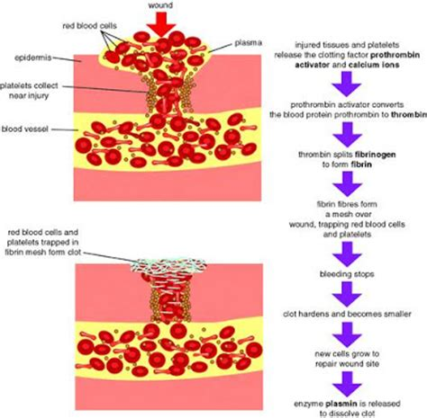 mozac biology department blood clotting mechanism flow