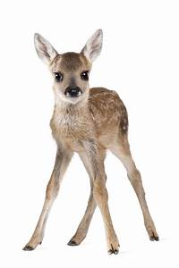 Baby deer   Deer and Fawn collection   Pinterest