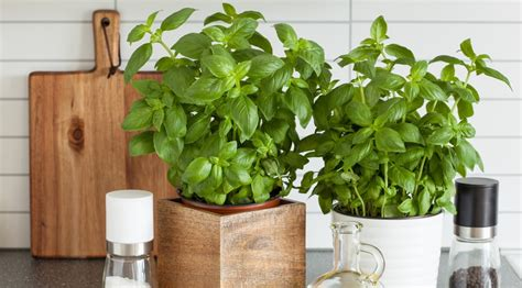 romarin en cuisine comment faire pousser ses plantes aromatiques dans sa
