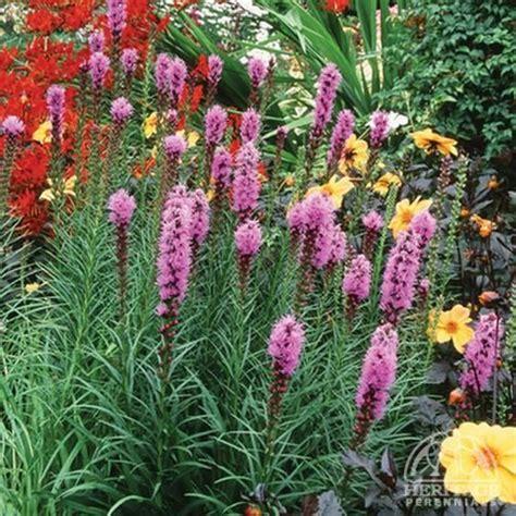 rabbit resistant perennials liatris deer resistant drought tolerant rabbit resistant attracts butterflies great
