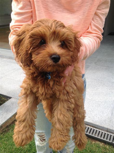 best 25 toy cockapoo ideas on pinterest cavapoo puppies