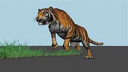 Tiger 3d Animation Maya