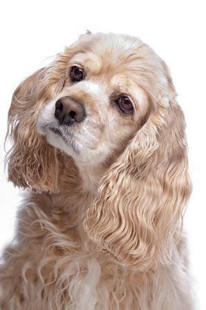 cocker spaniel dog breed information continental kennel club