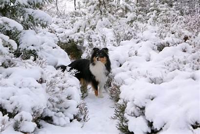 Sheltie Wallpapers Shetland Snow Sheepdog Snowy Desktop