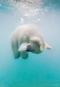Delightful Underwater Photos of Polar Bears Tumbling and ...