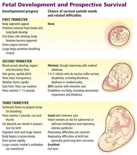 stages  pregnancy  birth