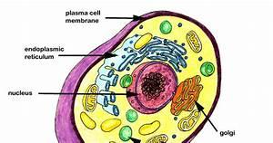 Colten U0026 39 S Blog  Plant Cell Structure
