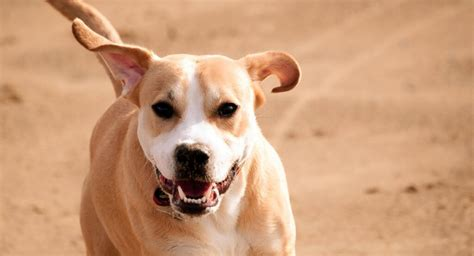 pitbull/hound mix puppies