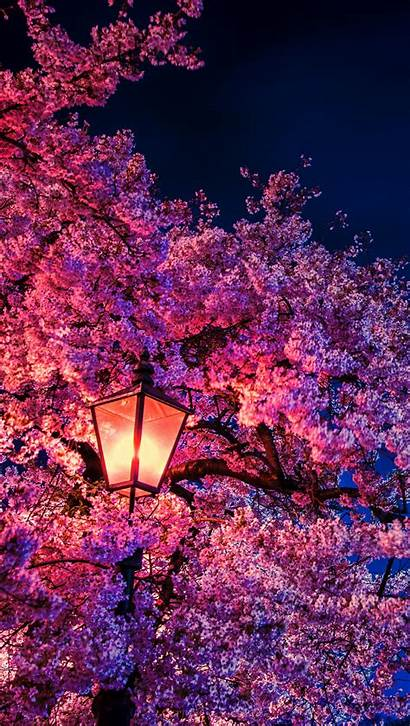 Cherry Blossom Night 8k Vertical Ultra Wallpapers