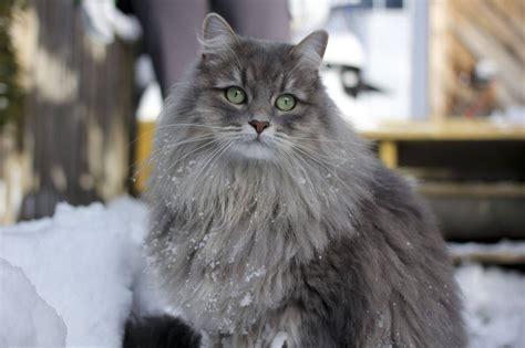 siberian cats grey siberian cat 1 1280 215 853 240847 hd wallpaper res