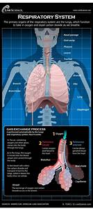 Diagram Of The Human Respiratory System  Infographic