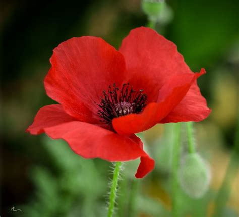pictures of poppies flowers 25 best ideas about red poppies on pinterest poppies poppy flowers and poppies art