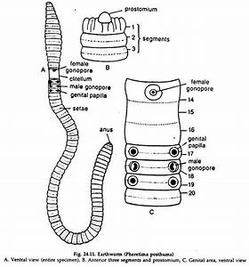 Worm Reproductive System