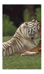 White Tiger HD Wallpapers   PixelsTalk.Net