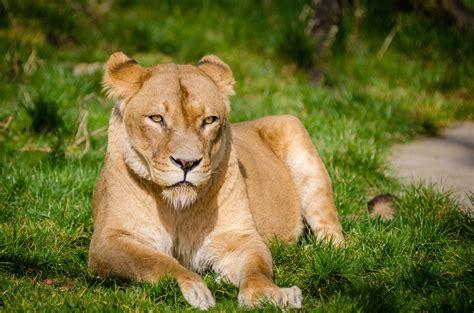 Free Images  Animal, Wildlife, Zoo, Feline, Fauna, Lion
