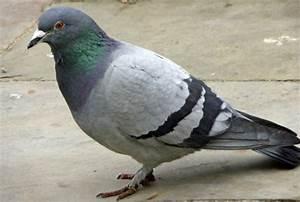 Faire Fuir Les Pigeons : le pigeon tout savoir sur les dif rents types de pigeons ~ Melissatoandfro.com Idées de Décoration