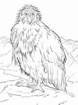 Condor Coloring California Grand Canyon Animals Quail Break Takes Condors Printable Endangered State Drawings Animal Seal 1536 39kb 2048px sketch template