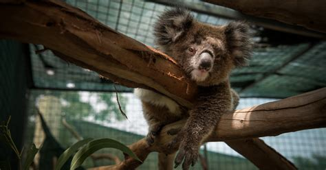 Saving Koalas, And Other Marsupials, With Milk Almost As Good As Mom's  The New York Times