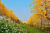 黃金風鈴木大爆發!全台賞花地點整理 - MOOK景點家 - 墨刻出版 華文最大旅遊資訊平台
