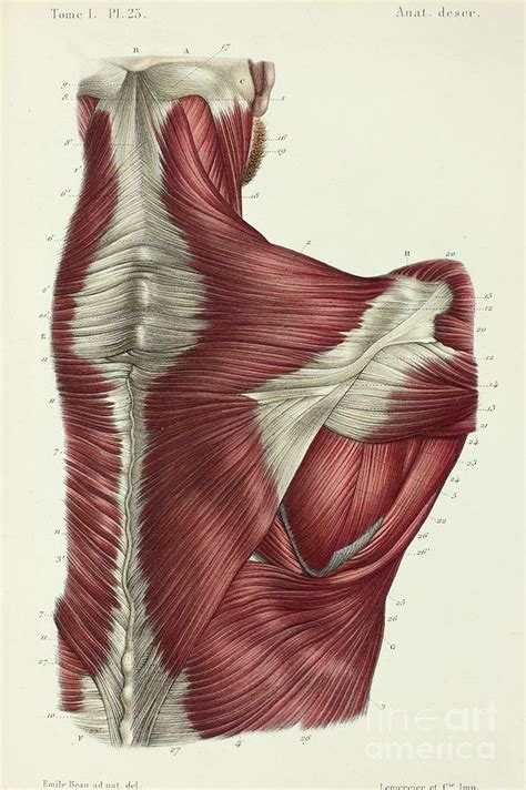 Upper back human anatomy diagram. Upper Back Muscles Photograph by Science Photo Library