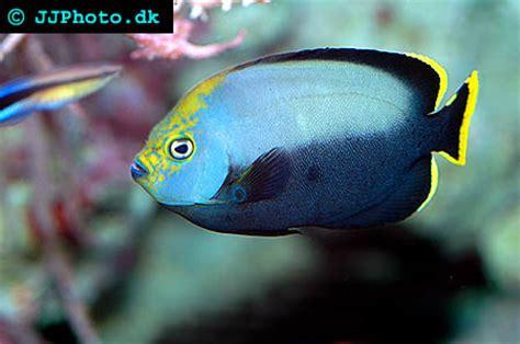 black velvet angelfish chaetodontoplus melanosoma