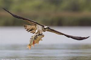 Carp diem! Osprey swoops to seize its prey... and lifts ...