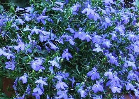 blue lobelia lobelia