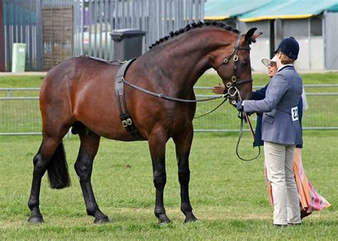 horse bay cleveland horses beginners breeds different stallion breed looking equifest mare tennessee walking blood