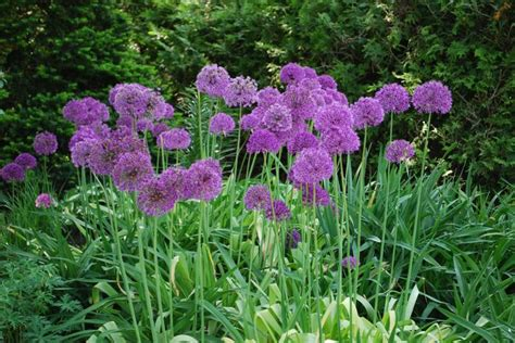 allium tall purple sensation ornamental onion  adr bulbs