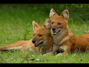 Five Amazing facts about Indian wild dogs Dhole - YouTube