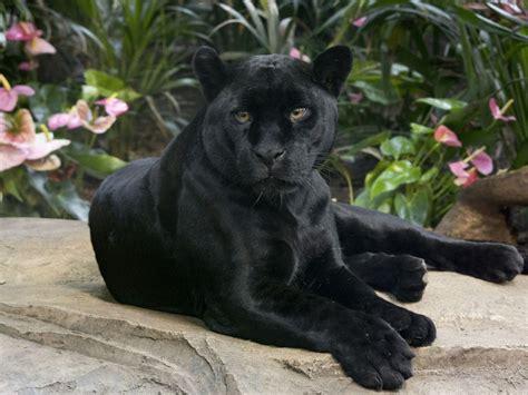 black panther wild cat  jaguar  handsome