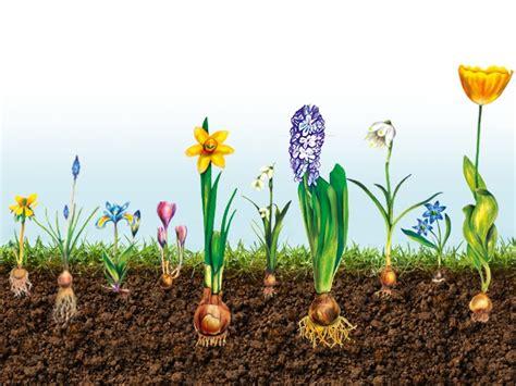 Blumenzwiebeln Einpflanzen Der Herbst Ist Die Richtige Zeit by Blumenzwiebeln Pflanzen Bauhaus