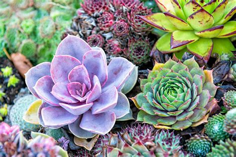 succulent photo succulent plant pictures images and stock photos istock