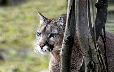 puma felin sauvage photo gratuite sur pixabay