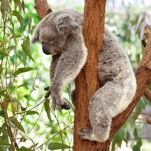 Información sobre los Koalas: Hábitat y alimentación Información