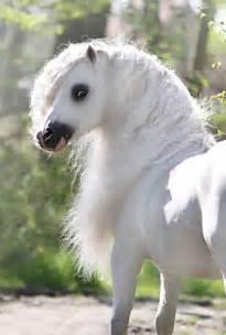 Beautiful Welsh Pony