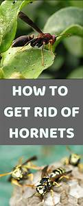 Eco-friendly Ways To Get Rid Of Hornets