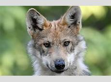 Deadline for 6th annual Mexican wolf pupnaming contest