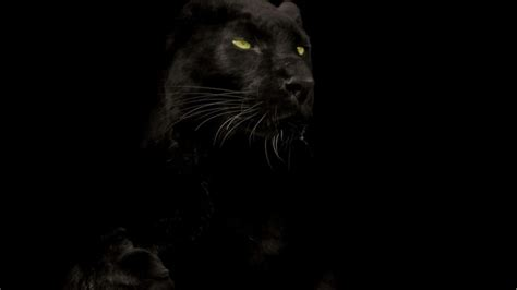 black panther animal wallpapers top  black panther