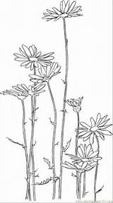 Daisy Coloring Flowers Coloringpages101 sketch template