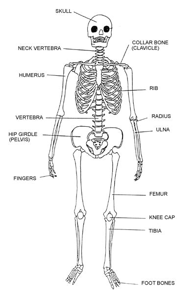 Basic Bone Diagram by Labeling The Skeletal System K 5 Computer Lab Technology