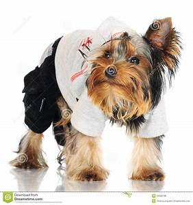Yorkshire Terrier Puppy In A Hood Royalty Free Stock Image ...